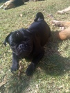 Winston pup 1