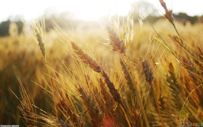 wheat_field__1_1280x800
