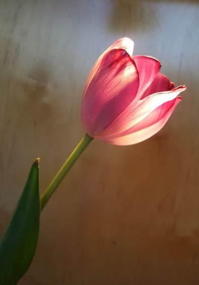 Tulip Nico