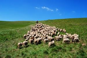 sheep flock following jesus