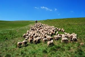 sheep flock following jesus