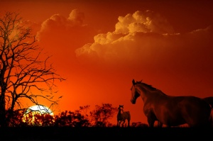 horses in red sunset