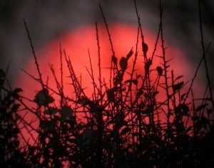 Red Sunset thorns in Cornwall