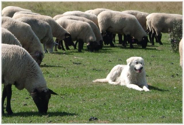 flock guardian dog 12