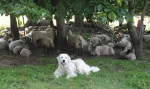 flock guardian dog 17