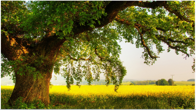 Oak Tree .jpg